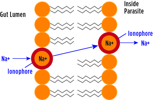Figure 2. The ion-carrying ionophore is a mobile molecule that carries sodium ions (Na+) from the gut lumen across the sporozoite membrane. This results in lysis — disintegration of a cell by rupture — of the sporozoite.
