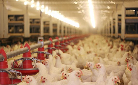 More light at night reduces daytime heat stress in broilers - Poultry Health Today